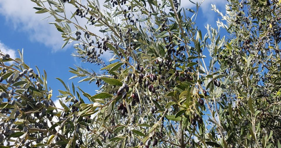 The day I joined the olive harvest in Crete!
